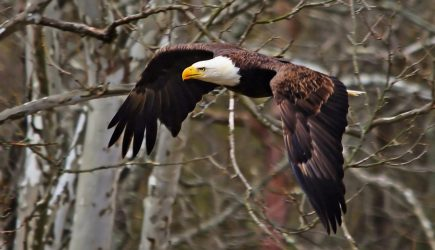 Eagle in flight through the trees at Highbanks.