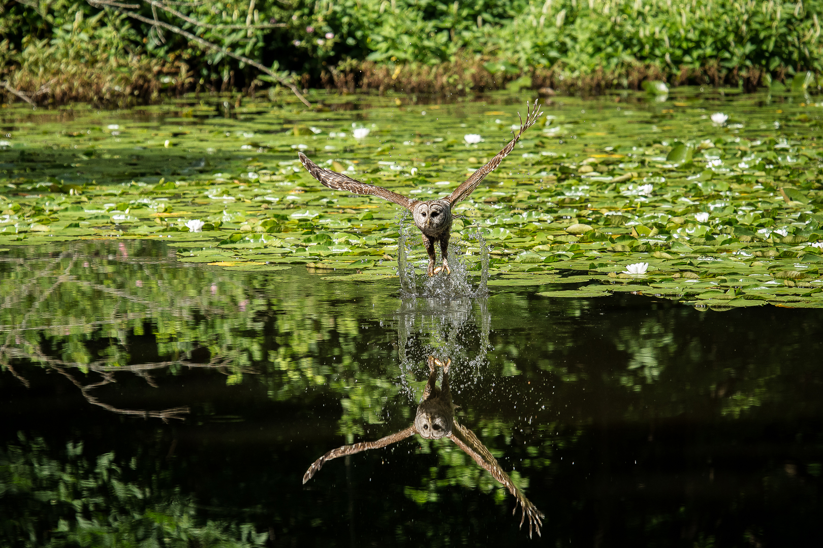 Barred owl swoops to surface of Ashton Pond while fishing at Blacklick Woods.