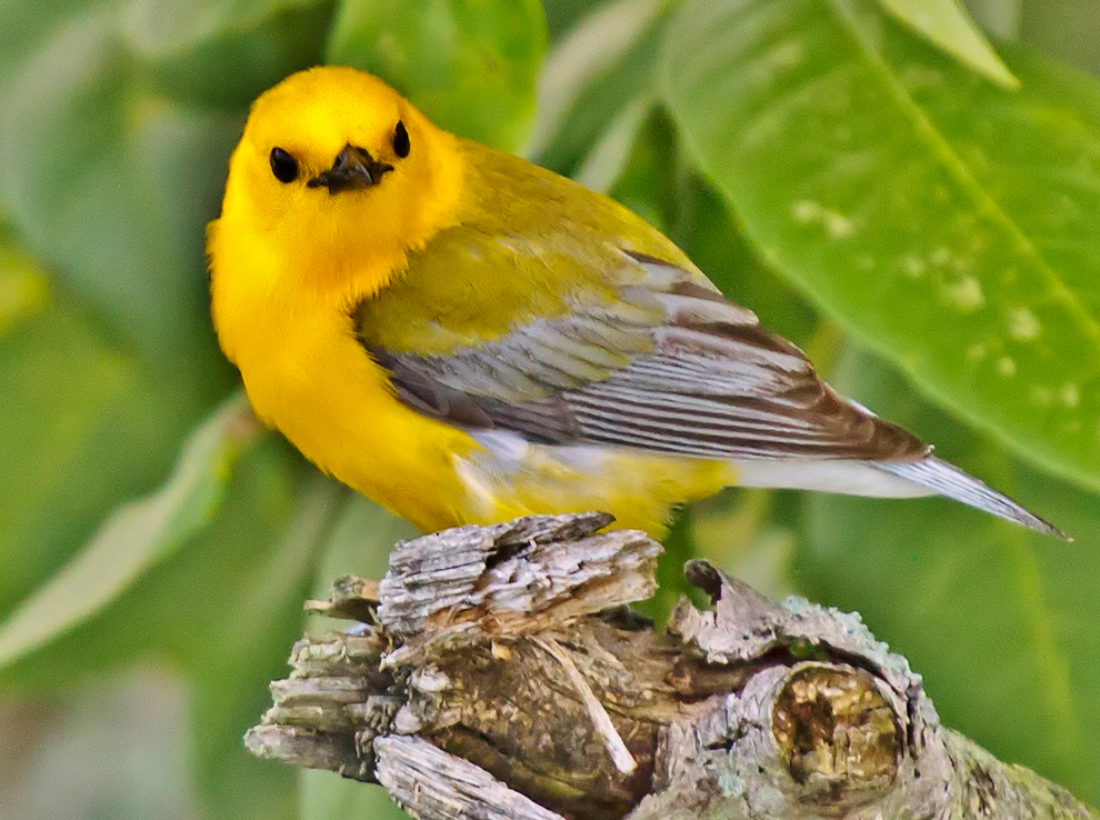 Prothonotary warbler at Blacklick Woods