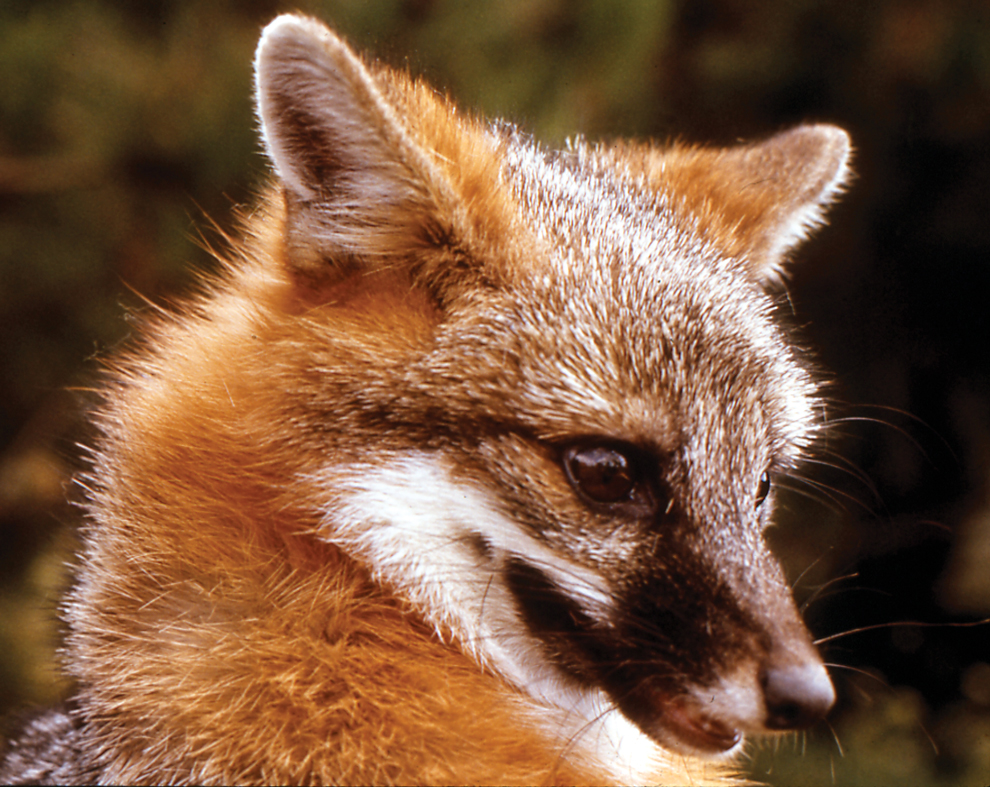 Close up of the head of a red fox