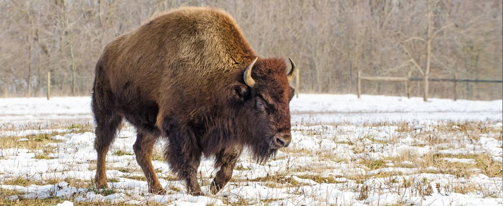 Bison in field on snowy day at Battelle Darby Creek
