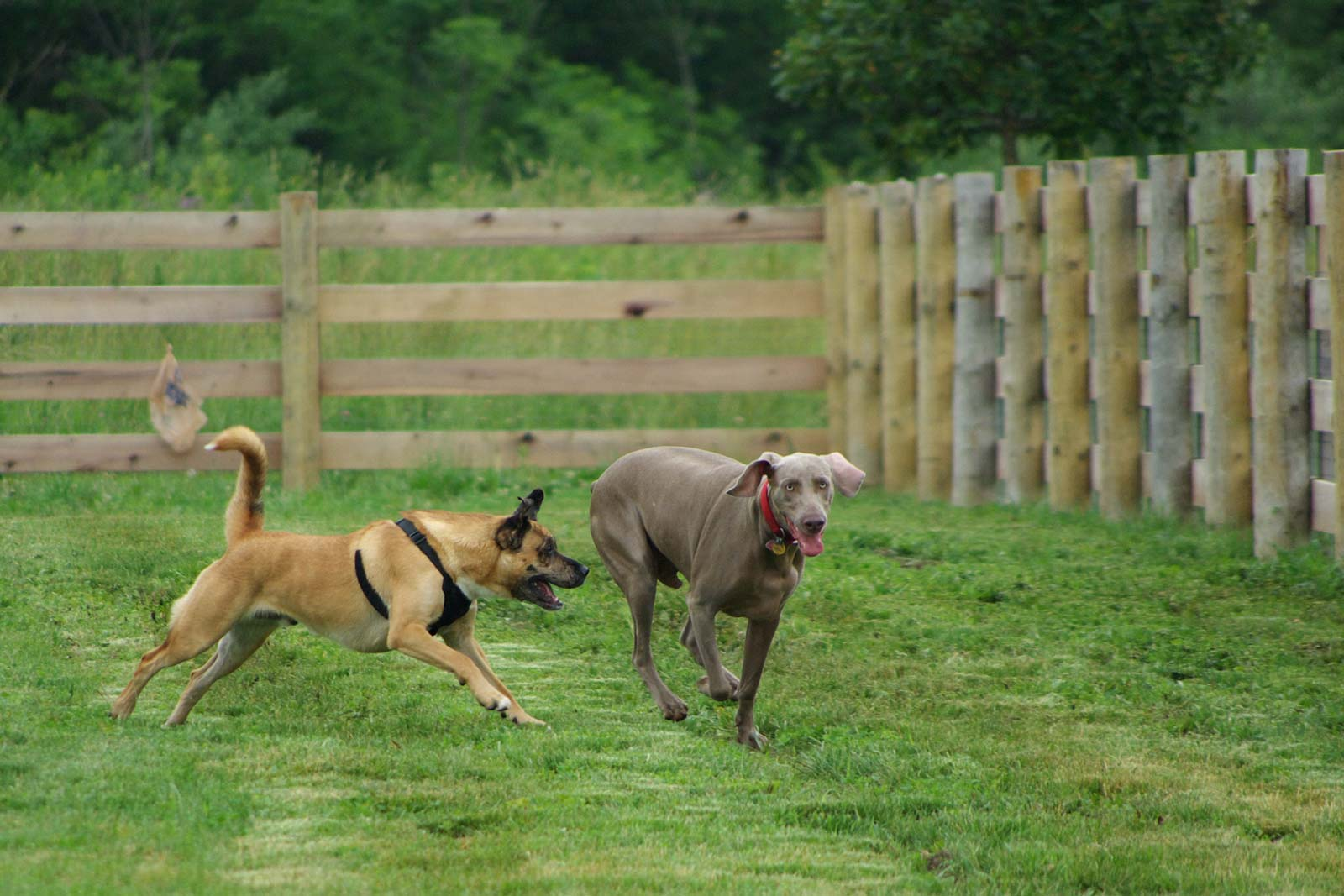 Two dogs frolic in the 5-acre dog park opened by the City of Columbus in the Sycamore Fields Area at Three Creeks Park.