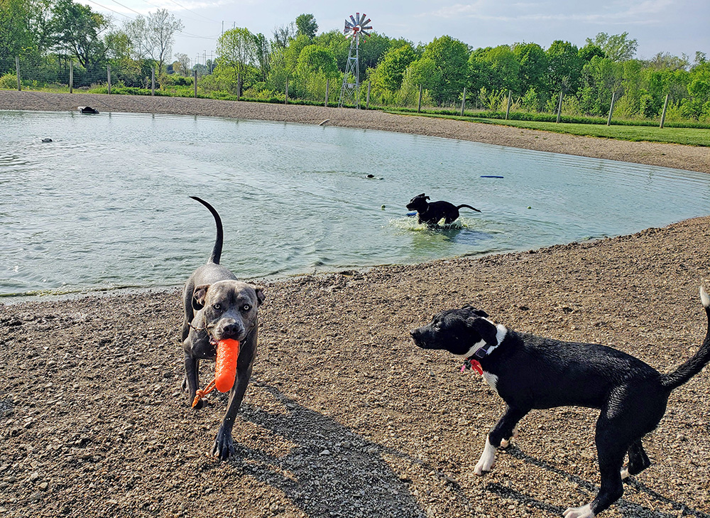 Dogs play in the dog pond at the large dog park at Walnut Woods Metro Park.